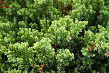 Juniperus horizontalis is commonly known as creeping juniper or creeping ceda.