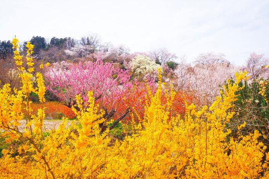 【福島】花見山公園の春 満開の桜