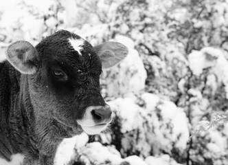 Wall Mural - Calf in farm snow close up for winter season.