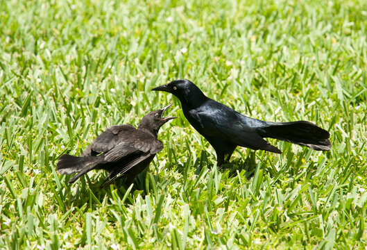 Communication Between Two Birds on Grand Cayman Island