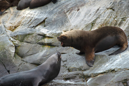 Sea Lions on a Rock in Beagle Channel, Argentina