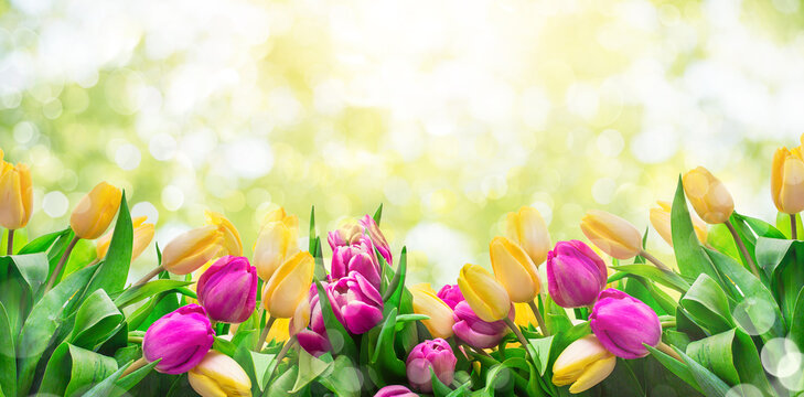 Fresh pink and yellow tulips on meadow in grass on fresh bright bokeh spring background.