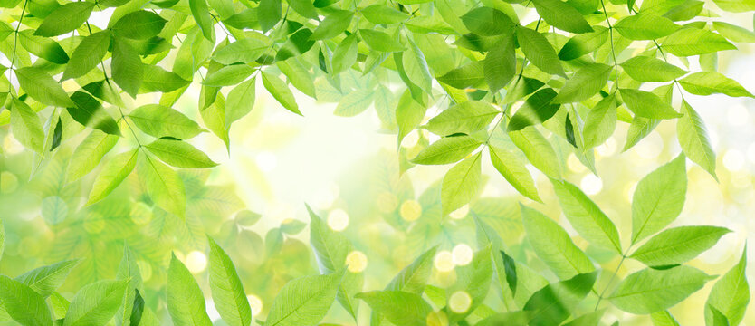 Background of fresh,green isolated leaves on tree in spring as close up for banner and in front of sun and light.