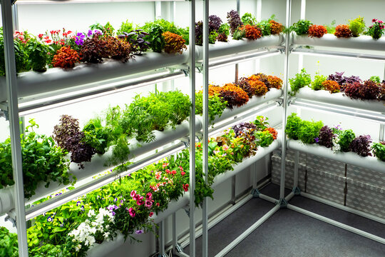 Small greenhouse. It is intended for cultivation of edible plants. Greenhouse restaurant. Plants on white greenhouse racks. Concept - hydroponic cultivation. Flowers for restaurant kitchen