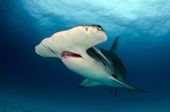 Diving with Great Hammerhead on Bahamas
