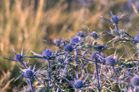 Blue thistle, Eryngium flowers, National Park of Abruzzo near Barrea, Lazio and Molis, Italy