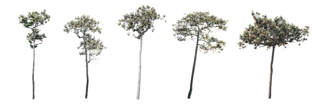 The set of trees, Trees on white background.(Dipterocarpus tuberculatns Roxb.)