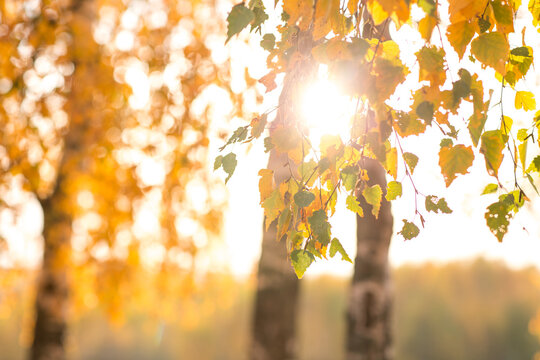 beautiful autumn sun shines through the yellow leaves of birch