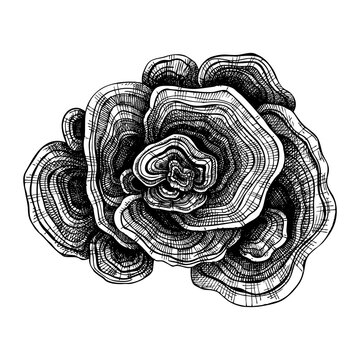 Turkey Tail drawing. Hand sketched illustration of medicinal mushroom. Natural adaptogen sketch in vintage style. Adaptogenica mushrooms drawing isolated on white.