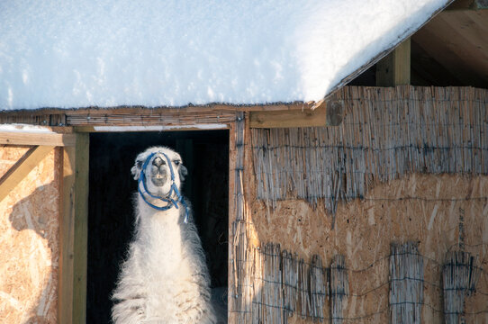 A white llama came out of her enclosure to the street.