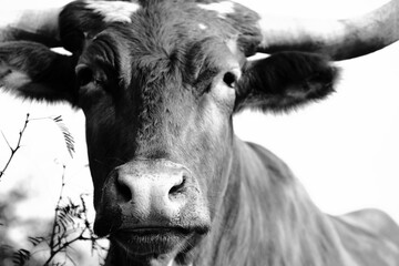 Wall Mural - Texas longhorn cow face close up in black and white.
