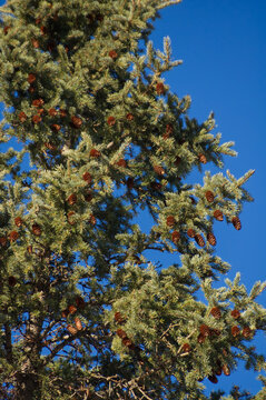 Pine Tree with Acorns against a Blue Sky
