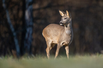 roe deer in the forrest
