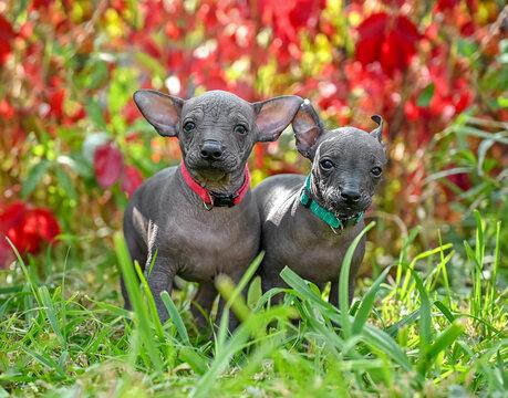 two sweet Xoloitzcuintle (Mexican Hairless Dog)   puppies standing in beautiful garden outdoors shot