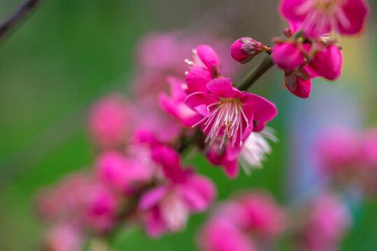 紅梅 初春イメージ