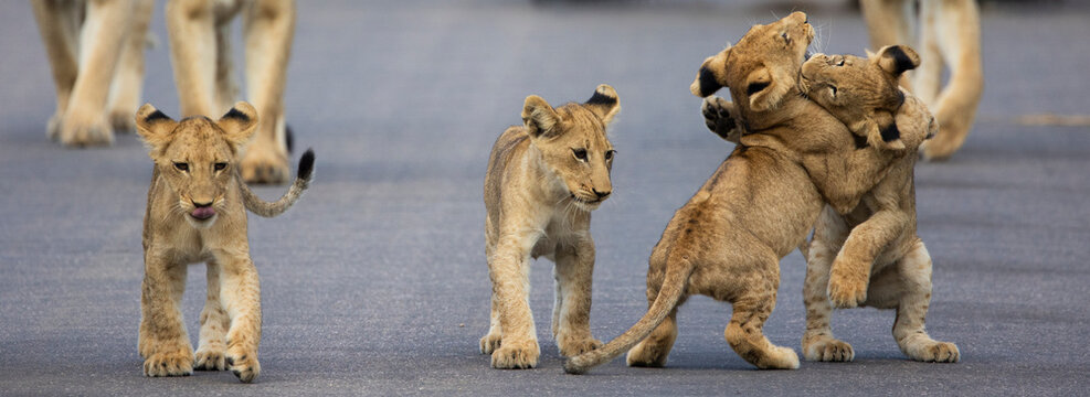 lion cubs in Kruger National Park