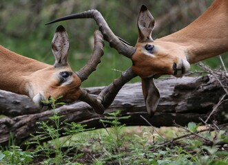 Impala rams locking horns