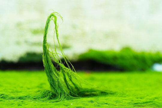 Green algae close-up background