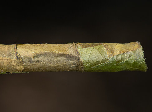 Leafcutter bee (Megachile) Nest