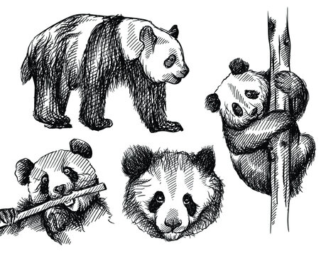 Hand drawn sketch set of panda bear on a white background. Cute panda bear. Panda face, panda bear climbing bamboo tree, walking and eating bamboo branch