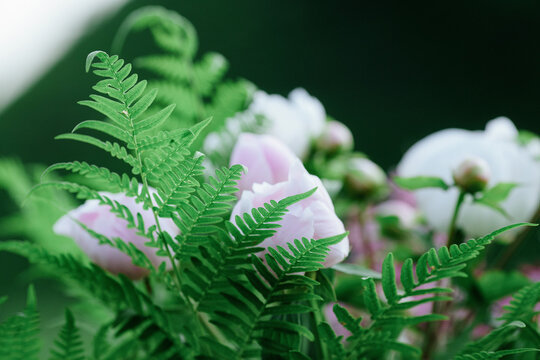 Close up pink peonies and green fern background. Spring forest flowers wallpaper