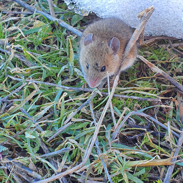 High angle shot of a cute rat on the grass captured during the daytime