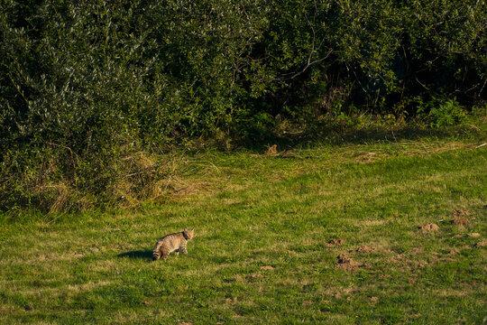 Wildcat hunting voles in the meadow