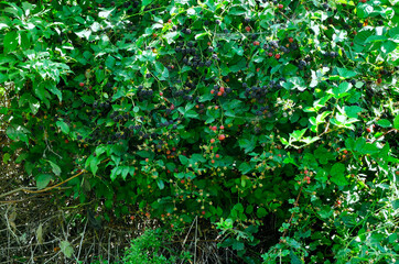 Fototapeta premium Dojrzałe owoce Jeżyna, (Rubus L.) jest bardzo smaczna i pełna witamin