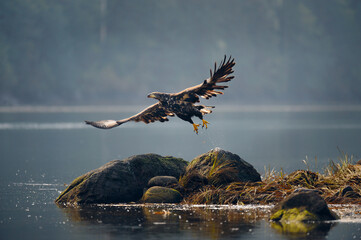Selective focus of a White-tailed eagle (Haliaeetus albicilla) flying from lake rocks