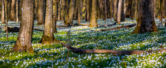 Fototapeta Fantastic forest with fresh flowers in the sunlight. Early spring time is the moment for wood anemone.