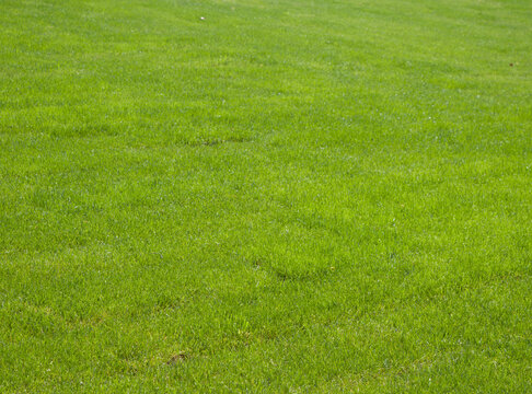 Grass meadow. Green lawn background. Nature background. Green grass texture. Empty field of green grass in the park. Spring fresh lawn carpet. Blank background for designs