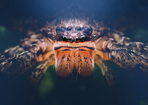 Closeup of a Giant Crab Spider