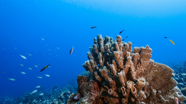 Seascape in turquoise water of coral reef in Caribbean Sea, Curacao with fish, coral and big Vase Sponge