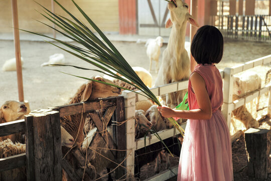 Back portrait of Asian girl feeds the grass to the crowd of goats at the farm