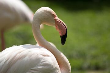 Fototapeta Ptak Flaming