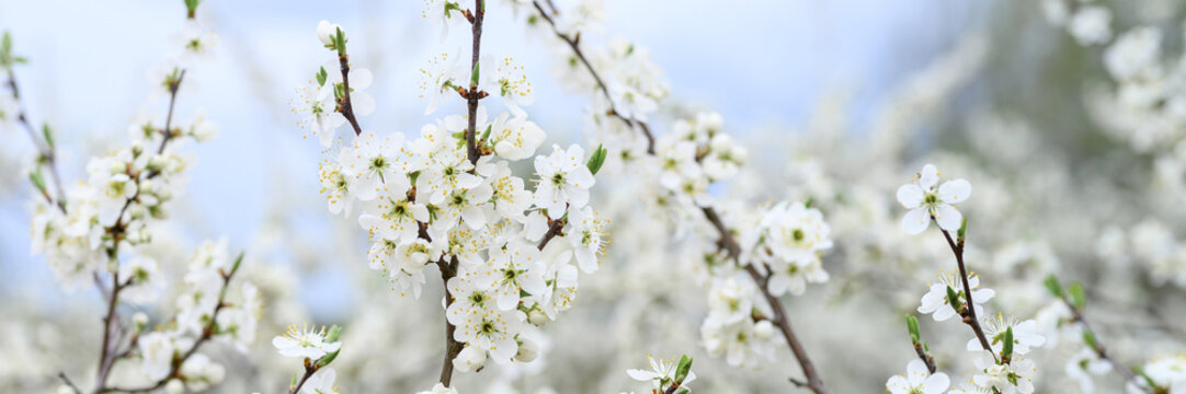plums or prunes bloom white flowers in early spring in nature. selective focus. banner