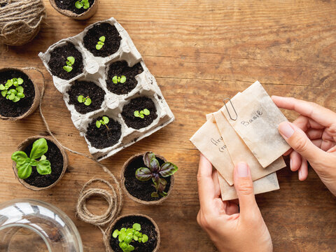 Basil seedlings in biodegradable pots on wooden table. Top view on woman hands with seeds in paper bags. Green plants in peat pots and agricultural tools.