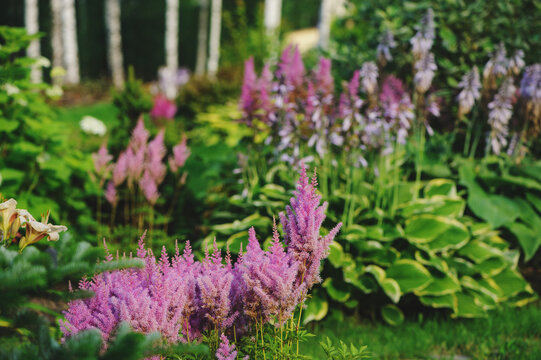 hostas planted with astilbes in summer private garden, landscape desing and companion planting concept