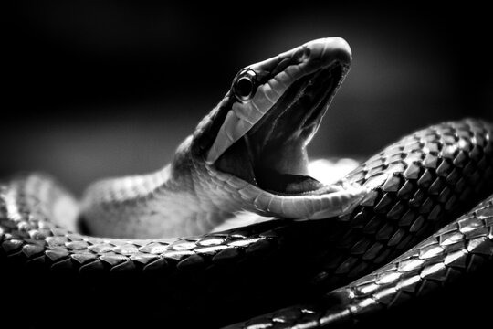 snake with open mouth