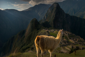 Lama at Machu Picchiu archaelogical site, Peru