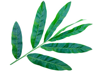 Wall Mural - green leaves isolated on white background with clipping path for design elements, fresh green leaves