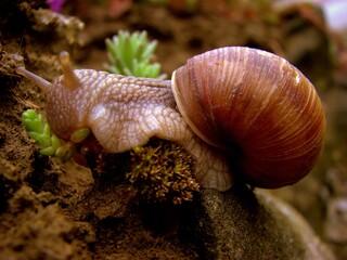 Fototapeta ślimak z muszlą wspinający się po ziemi obraz