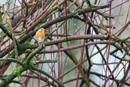 The robin looks out of the bushes
