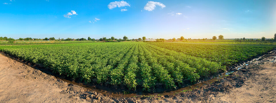 Panoramic photo of a beautiful agricultural view with potato plantations on the farm on a sunny day. Agriculture and farming. Agribusiness. Agro industry. Growing Organic Vegetables