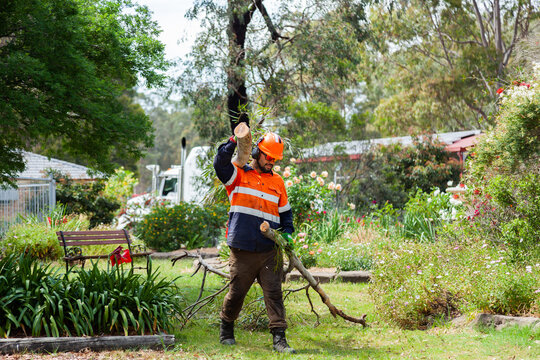Worker dragging tree branch through garden to be turned to mulch