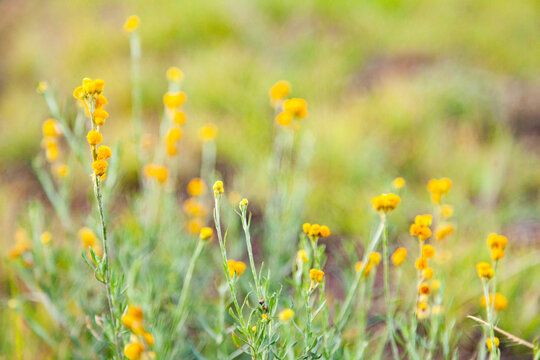 Native yellow flowers in grass