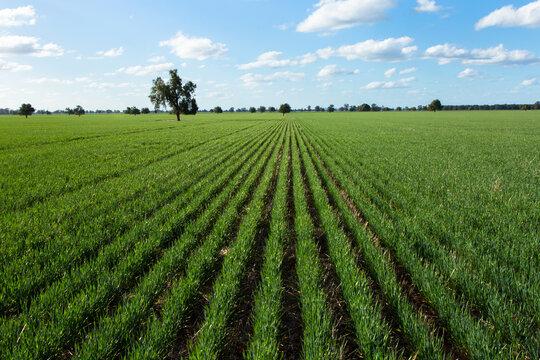 Rows of barley plants into the horizon