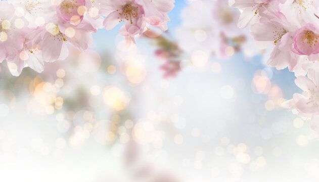 Apricot background with cherry blossom tree in springtime with bokeh and sunny lights.