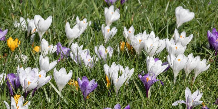 Weiße, violette und gelbe Krokusse in einer Wiese..