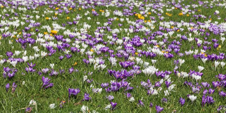 Weiße, violette und einige gelbe Krokusse in einer Wiese..